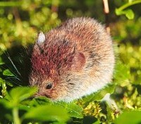 Red Backed Vole